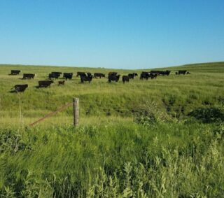 Black cows in pasture