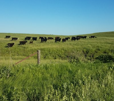 Black cows in pasture