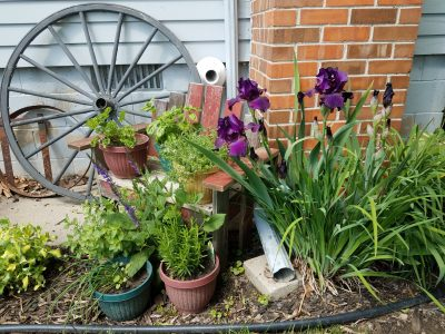 Purple Iris and wagon wheel